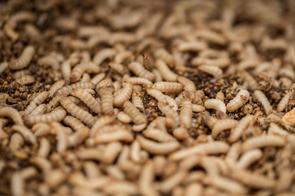 The EU is being urged to introduce the same insect-feed standards for poultry and pork industries