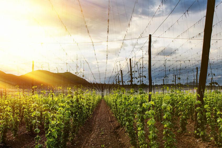 A British vineyard