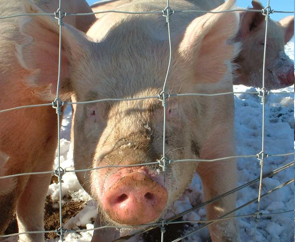 Zinc Oxide is used to prevent diarrhoea in pigs (Photo: George Chriss)