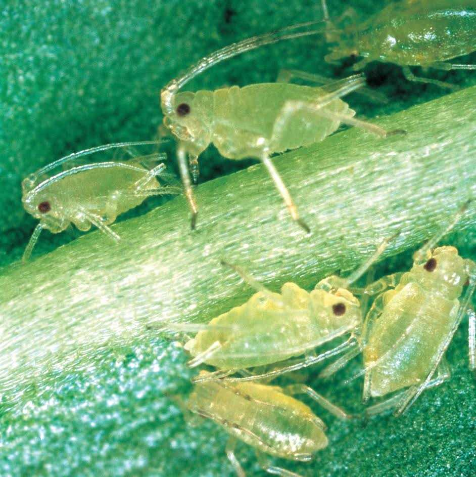 Aphid numbers have soared this season due to favourable conditions with the situation particularly concerning for seed growers in the north of England and Scotland