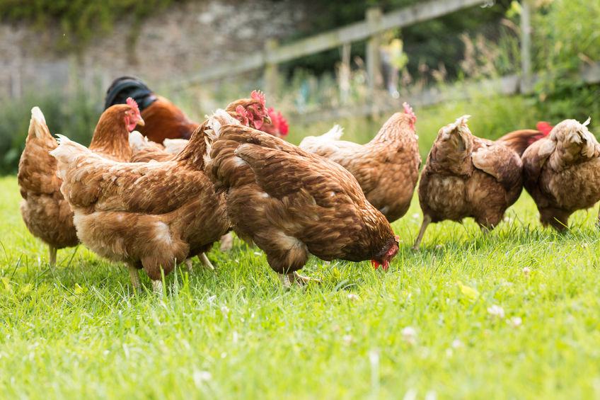 The hen had escaped from her enclosure and travelled across 10 acres of field – quite a dare devil