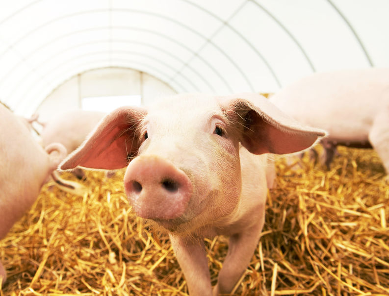 The deal includes three producers who, in a first for the UK, will export pig trotters