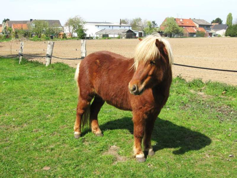 Nine Shetland ponies were attacked by criminals who entered the property late at night (Stock photo)