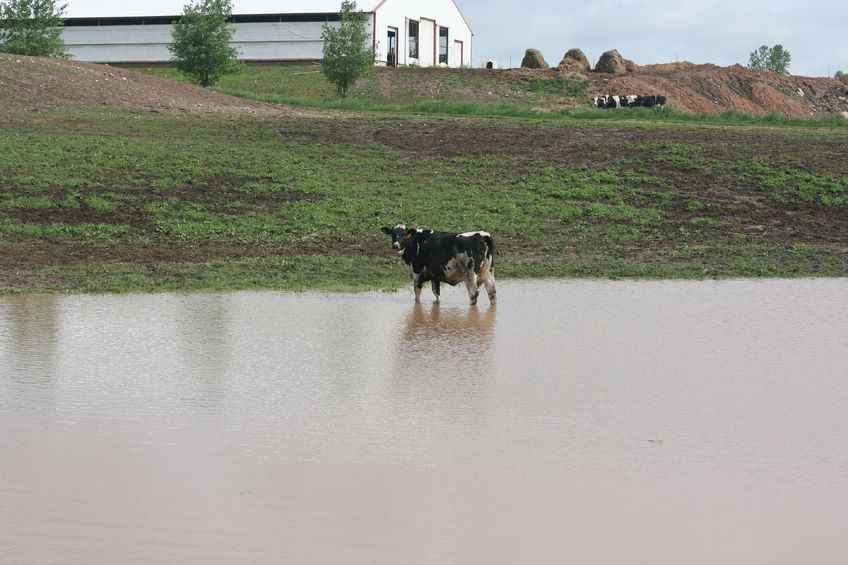 Standing in water and deep mud can exacerbate infections and diseases in cattle