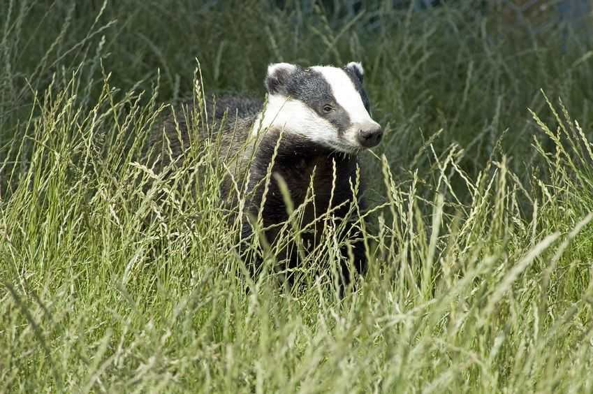 Labour has scrutinised the government over its plans for a badger cull extension