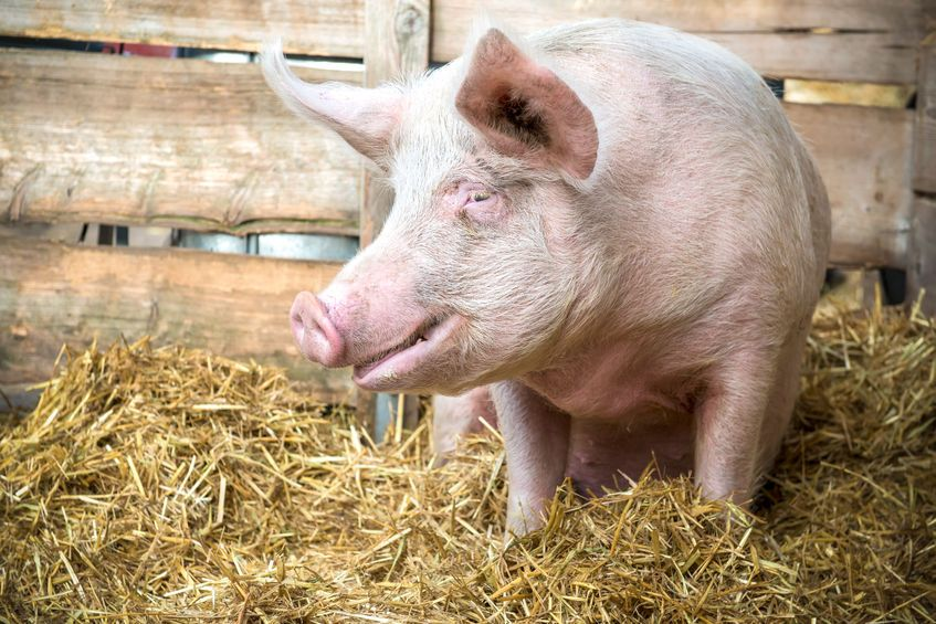The pig industry wants to promote British pork in 2018