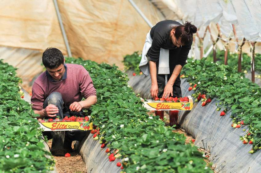 Farm businesses have said that they were unable to recruit sufficient low skilled UK workers