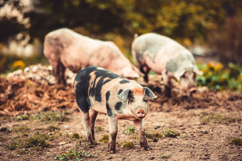 Pigs, laying hens, and meat chickens will need to be in a more enriched environment under new government plans