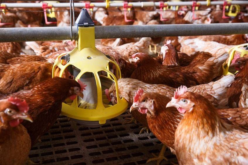 Organic poultry farmers suffer from difficulties in sourcing feed of organic quality