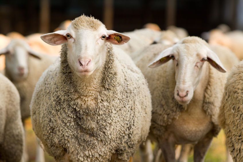 """A growing demand for sheep meat and an """"enhanced religious observance"""" are reasons for an increase in non-stun slaughter"""