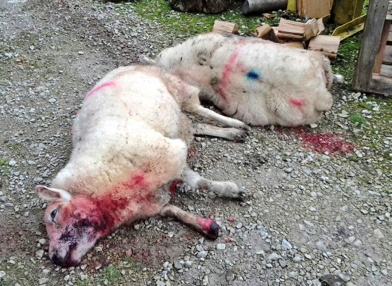 """The farmer is a """"repeat victim"""" of livestock worrying (Photo: NW Rural Crime Team)"""