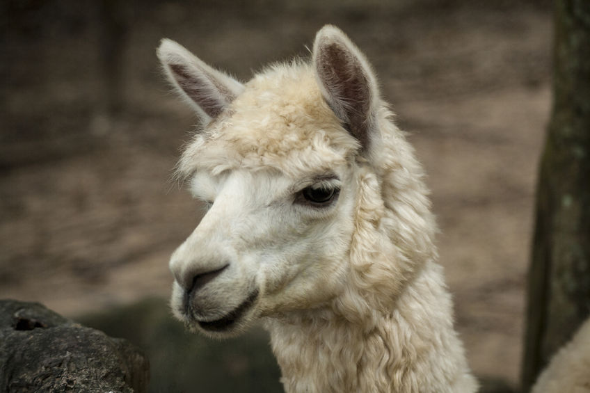 In total, six alpacas took part in this event