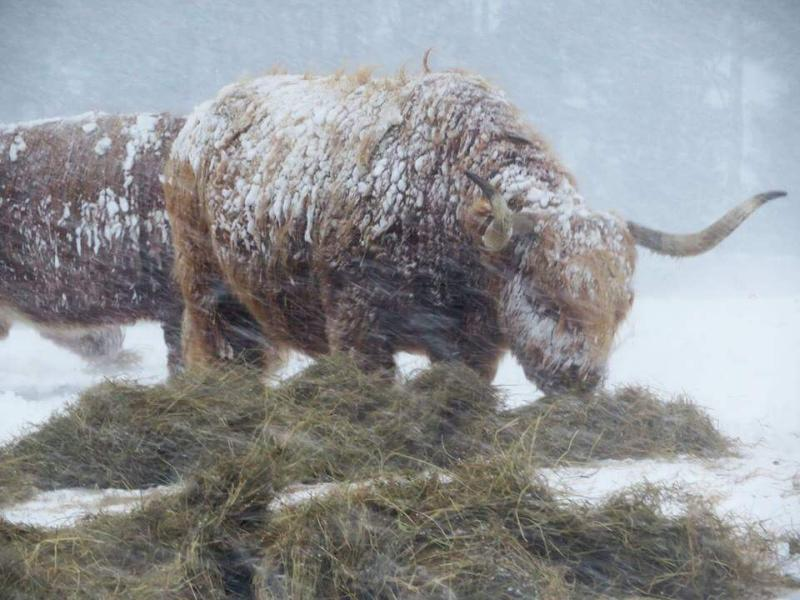 A Highland cow gets on as heavy snow batters the farm (Photo: Kirsty Firth Taylor)