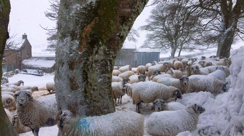 Sheep trying to keep away from the 78ft snow drifts at Stainmore, North Yorkshire (Photo: Emily Buckle)