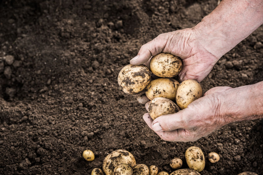 Potato stock levels and 'drawdown' at record levels, according to new figures