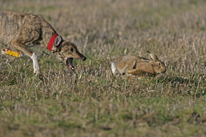 Hare coursing is the pursuit of hares with greyhounds and other sighthounds, which chase the hare by sight, not by scent