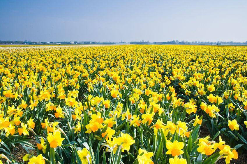 The farmer's daffodils contain unusually high levels of a compound known to fight Alzheimer's disease