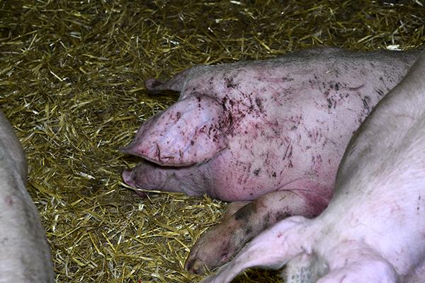 """The National Pig Association said the actions of the workers depicted in the footage are """"indefensible"""" (Photo: Animal Equality)"""