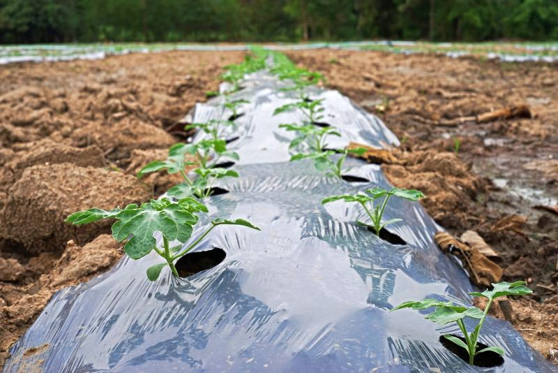 Plastic mulch is cheap to make, but there are fears that the plastic can accumulate in the soil