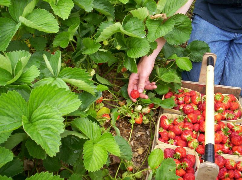 The report says the farming industry is struggling to recruit enough seasonal workers