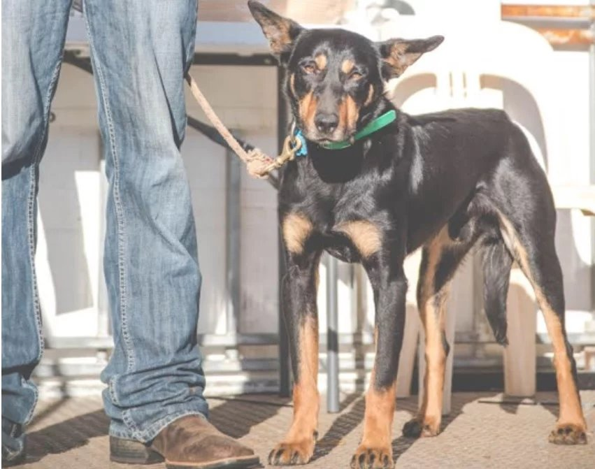 The record-breaking farm dog (Photo: Casterton Kelpie Muster)