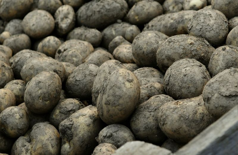Potato plantings are down three per cent amid tough weather conditions