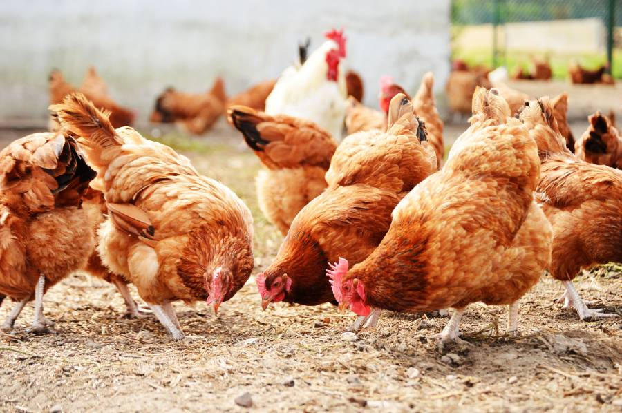 Animal welfare has been enhanced by the new codes for laying hens and pullets