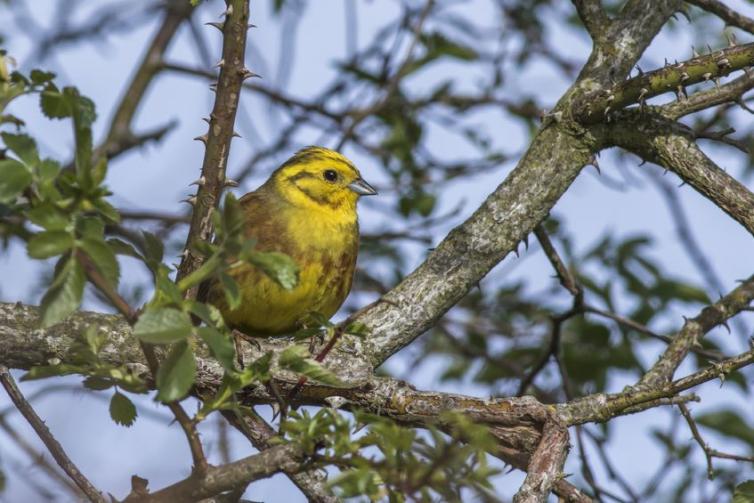 Yellowhammers were up by 78% between 2006 and 2011, the study shows
