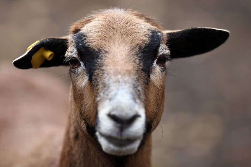 British Veterinary Association and Goat Veterinary Society consider the use of appropriate anaesthesia and analgesia as vital to the welfare of goats at the time of disbudding