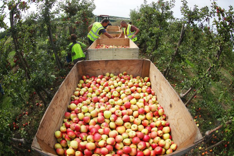 Over six million apples have been picked across Kent