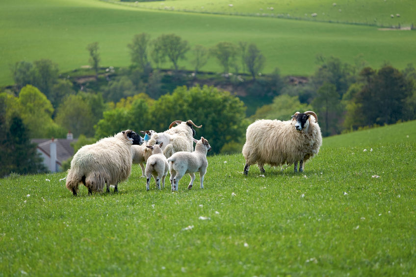 Having Scotch lamb on the menu in schools is seen as a boost to the sheep industry in Scotland