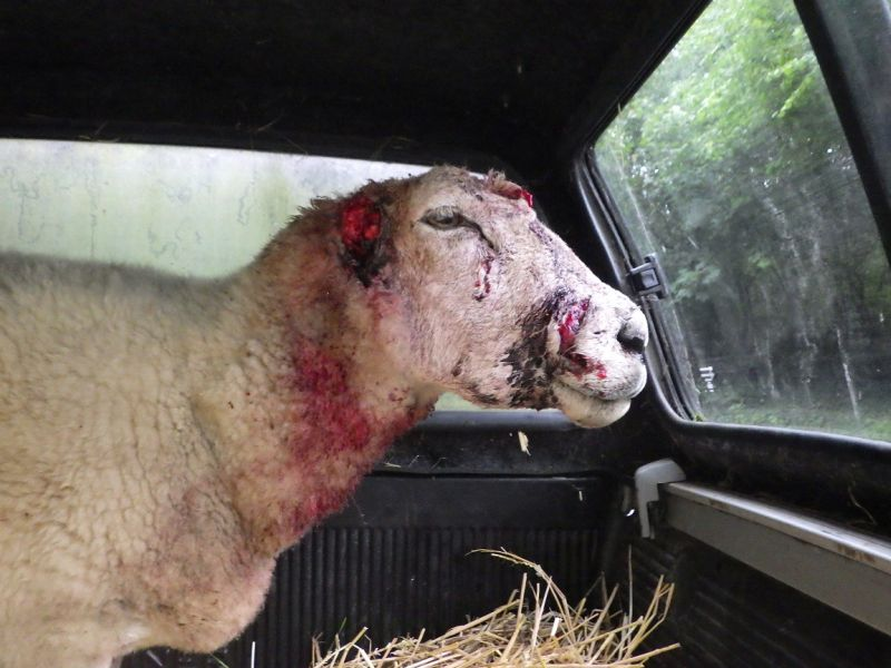 The sheep has both ears completely ripped off and numerous injuries across the face