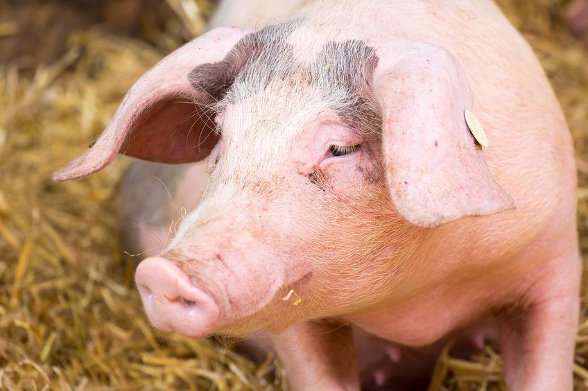 The virus in Belgium brings African swine fever closer to the UK