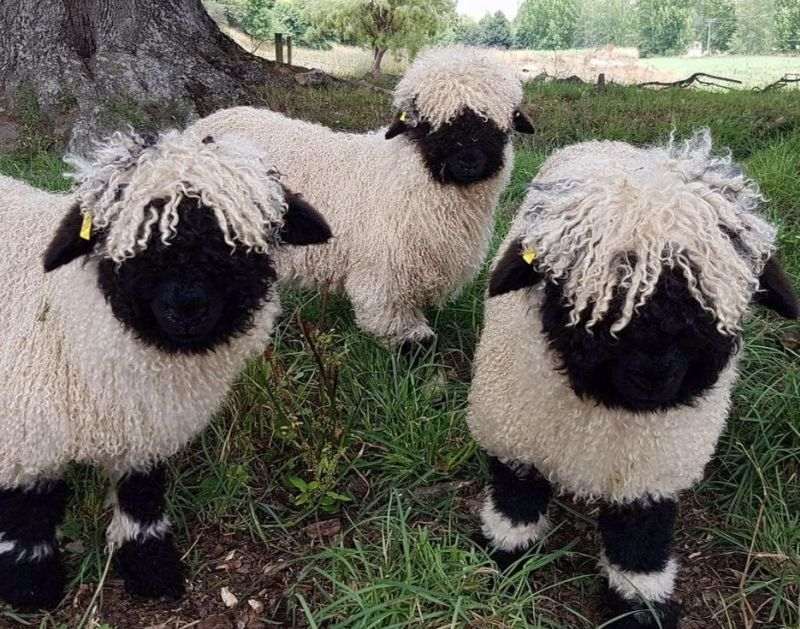 With the help of British breeders, the NZ couple now hope to introduce the breed to North America (Photo: Valais Blacknose NZ/Facebook)