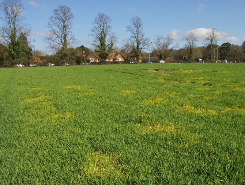 A field of winter barley infected with barley yellow dwarf virus, caused by virus-spreading aphids (Photo: Dewar Crop Protection)