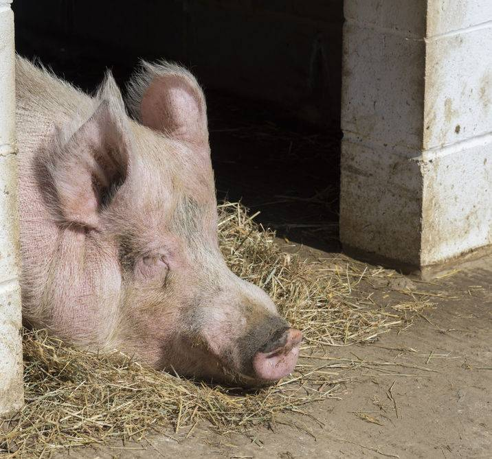 China is a major pig producing country and accounts for approximately half the global population of swine, estimated at 500 million