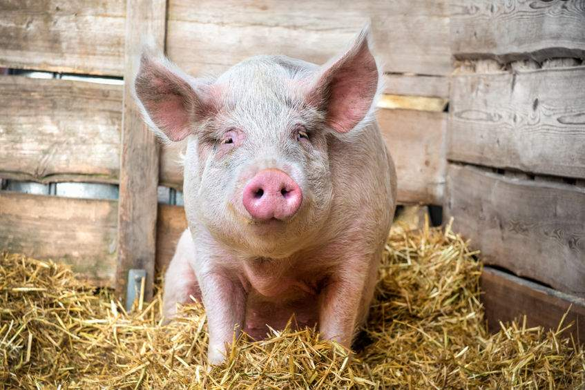 Buildings are key to pig productivity, health and welfare