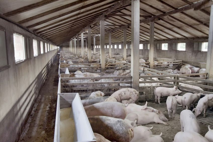 Researchers looked at the welfare level of sixty pig farms in Germany, ranging from 250 pigs to 11,000 pigs per farm