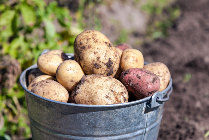 More than 80% of seed potatoes in the UK are of Scottish origin