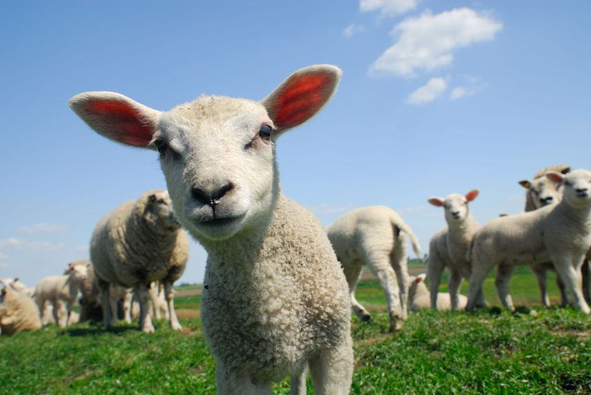"""The National Sheep Association said some people are """"hell bent"""" on portraying sheep as the """"enemy"""""""
