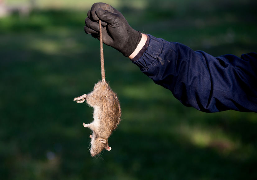 Farmers are advised to beware of new hotspots of 'super rats' that are resistant to anticoagulant rodenticides