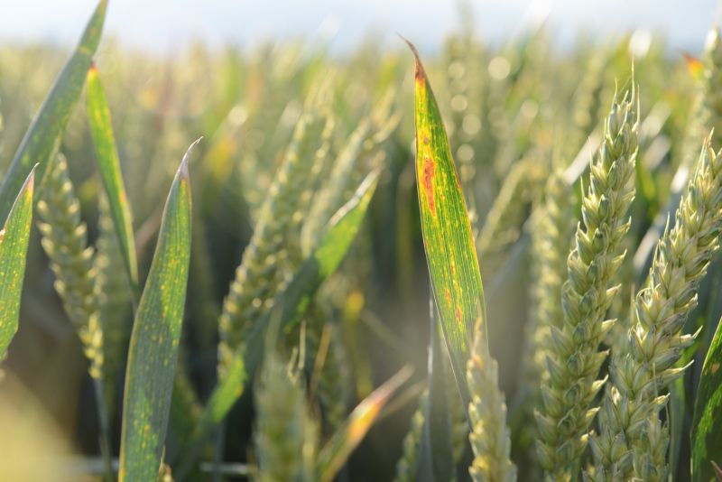 The survey will get the industry ready to grow cereals without neonicotinoid seed treatments
