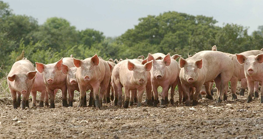 "The UK pig industry has made ""huge strides"" in reducing and refining antibiotic use over the past two years"