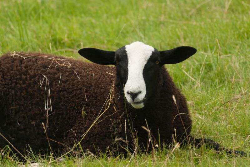 Three farmers have helped the 15-year-old farmer, donating a total of 10 black Welsh mountain ewes