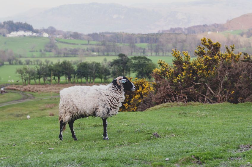A sheep farmer is wanted to help develop strategies for parasite control in sheep