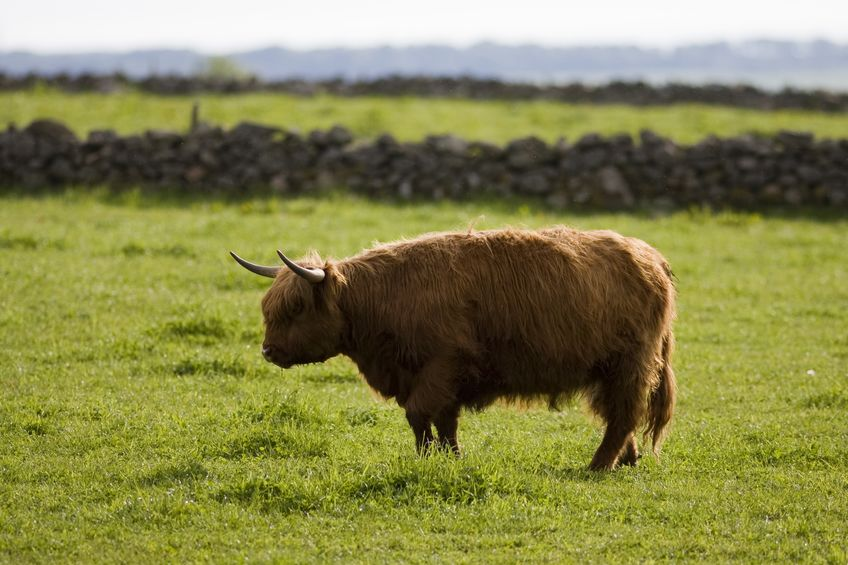NFU Scotland is to carry out its 'shelfwatch' as beef prices remain low