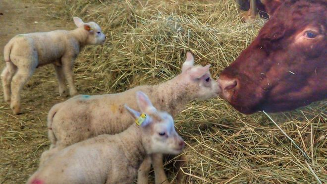 The lambs were just four-weeks old when they were killed (Photo: Hall Farm)