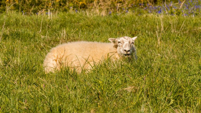 A vet had to be called to euthanise five sheep on welfare grounds due to the severe level of maggot infestation and suffering