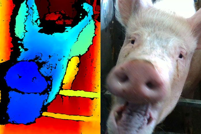 The study sees pigs' facial expressions analysed using state-of-the-art 3D technology (Photo: SRUC)