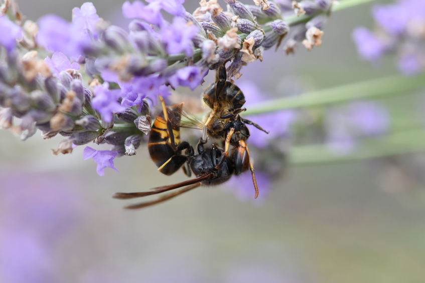 The impact of the Asian Hornet's arrival on UK shores could threaten native pollinators